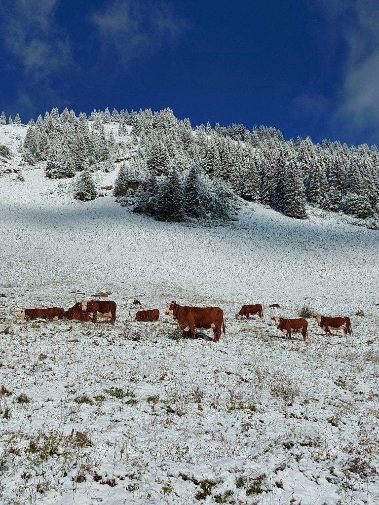 mountain cows in the snow. beautiful trees and blue sky